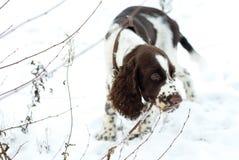 在第一雪的逗人喜爱的小狗英国斯伯林格西班牙猎狗步行 库存图片