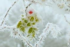 在第一雪以后的玫瑰果 免版税库存图片
