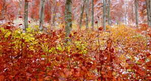 在第一雪以后的色的树 库存照片