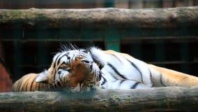在笼子动物的老虎 库存图片
