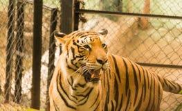 在笼子后的老虎在动物园里 特写镜头 免版税库存照片