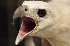 在笼子困住的一只白鼓起的海鹰的画象 印度尼西亚, 库存照片