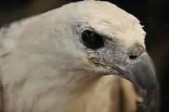 在笼子困住的一只白鼓起的海鹰的画象 印度尼西亚 免版税库存照片