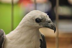 在笼子困住的一只白鼓起的海鹰的画象 印度尼西亚 免版税库存图片