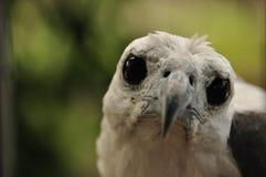在笼子困住的一只白鼓起的海鹰的画象 免版税库存图片