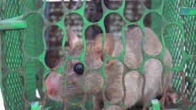 在笼子捕鼠夹,寻求为了帮助能逃脱 股票视频