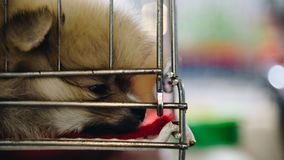 在笼子狗的小狗pomeranian品种充满悲伤 免版税库存图片