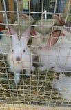 在笼子的一些白色兔子 免版税库存照片
