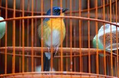 在笼子的一只小和逗人喜爱的歌曲鸟 免版税库存图片