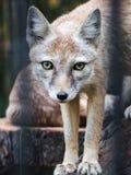 在笼子的一只小狐狸看照相机 艺术性弄脏细胞的标尺 免版税库存照片