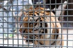 在笼子的一只老虎 库存照片