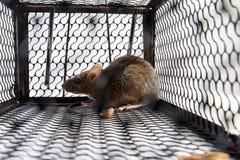 在笼子的一只老鼠 图库摄影
