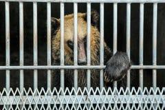 在笼子的一头棕熊 免版税库存图片