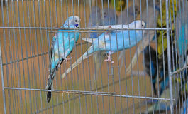 在笼子的两五颜六色的budgies待售在宠物商店 库存照片
