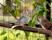 在笼子的两只爱鸟 图库摄影