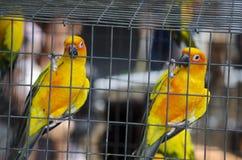 在笼子的两对爱情鸟鹦鹉 图库摄影