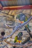 在笼子的五颜六色的鹦鹉在动物园里 库存图片