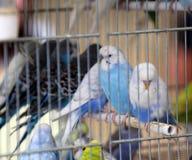 在笼子的五颜六色的budgies待售在宠物商店 免版税库存照片