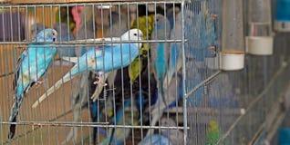 在笼子的五颜六色的budgies待售 免版税库存照片