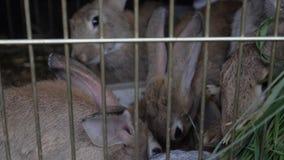 在笼子的兔子吃草 影视素材
