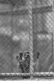 在笼子的单独猴子 免版税库存照片