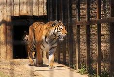 在笼子的印地安老虎 免版税图库摄影
