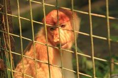 在笼子的哀伤的长鼻猴 免版税库存照片