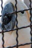 在笼子的哀伤的鹦鹉寻找逃命 免版税库存图片