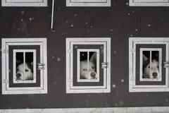在笼子的多壳的狗 免版税图库摄影