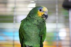 在笼子的大鹦鹉 免版税库存照片