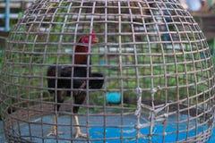 在笼子的好斗的公鸡 免版税库存图片