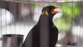 在笼子的小山Myna Gracula Religiosa谈的鸟 股票视频