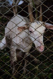 在笼子的山羊 免版税库存照片