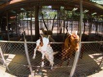 在笼子的山羊 库存图片