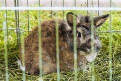 在笼子的布朗兔子 免版税图库摄影