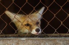 在笼子的幼小狐狸 免版税库存图片