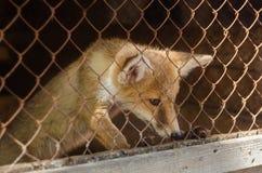 在笼子的幼小狐狸 免版税图库摄影
