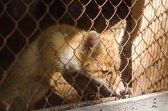 在笼子的幼小狐狸 库存图片