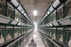 在笼子的幼小白色产蛋母鸡在养鸡场 工厂生产鸡蛋和烤焙用具 在之间走道的明亮的灯 免版税库存图片