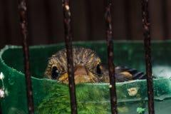在笼子的幼鸟 库存照片