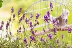 在笼子的开花的淡紫色ith鸟 库存图片