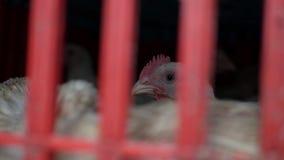 在笼子的很多鸡在新鲜的产品商店等待买家 鸡在地方亚洲市场上 r 4K 股票视频