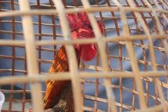 在笼子的战斗公鸡 库存图片