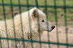 在笼子的极性狼 图库摄影