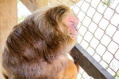 在笼子的树桩被盯梢的短尾猿 免版税库存图片