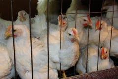 在笼子的母鸡 免版税库存照片