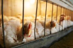 在笼子的母鸡 免版税库存图片