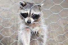 在笼子的浣熊 库存图片