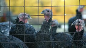 在笼子的火鸡,火鸡看框架 股票视频