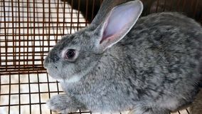 在笼子的灰色兔宝宝 库存图片